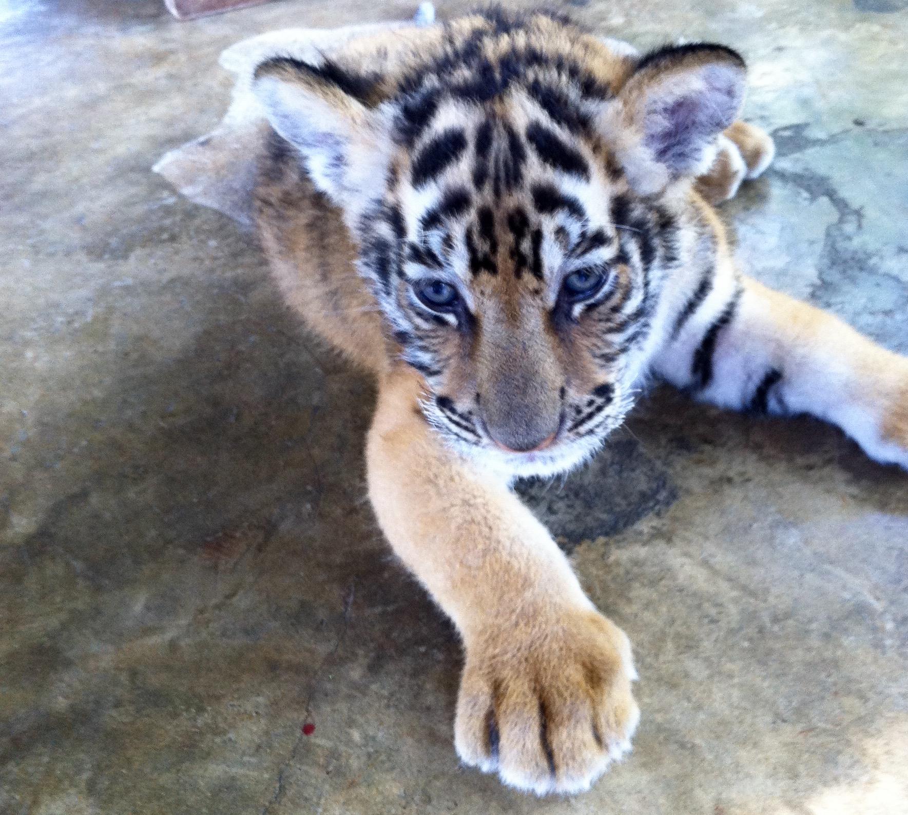 blue-eyed-tiger-baby