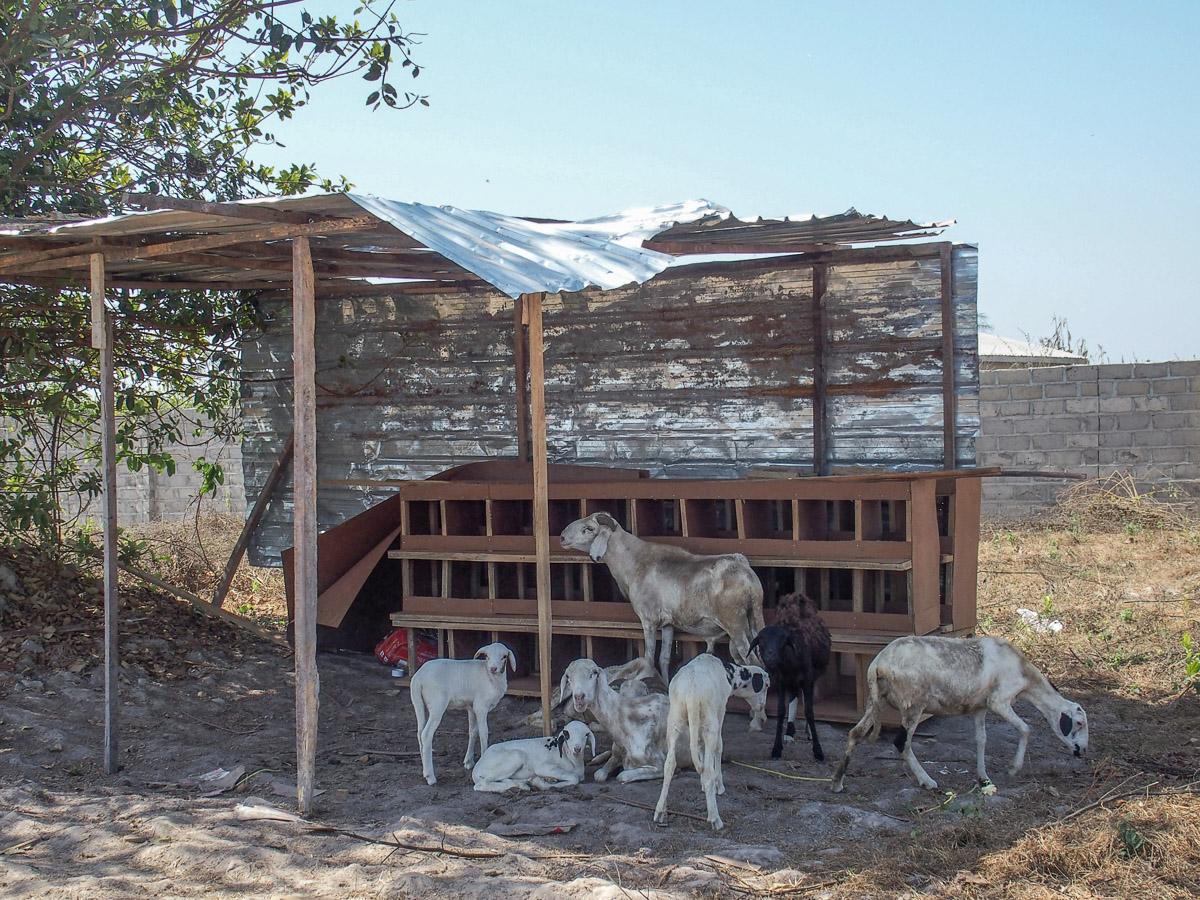 gambisk-julekrybbe