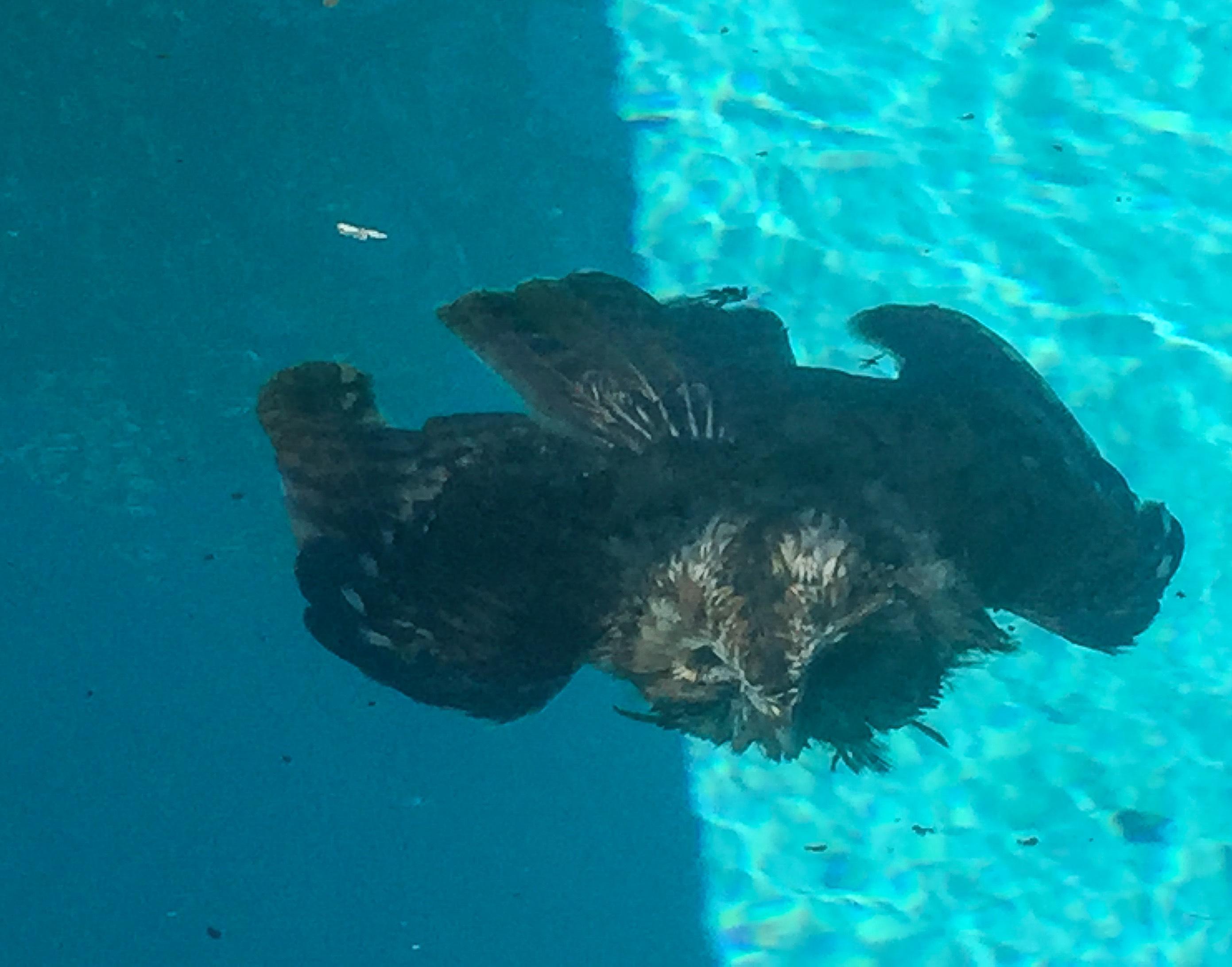 dead-owl-in-pool