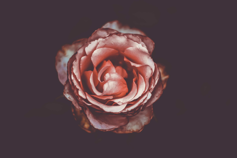 rose-hjerte-symbol