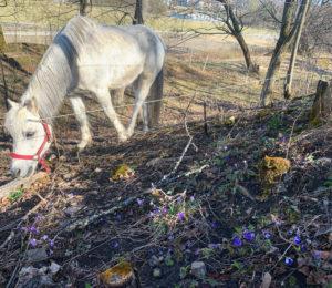 hvit-hest-blatt-bissel